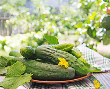 Fresh cucumbers from the garden on the table in the summer garden.